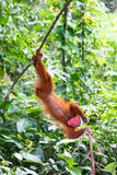 Upside Down Bald Uakari Monkey Royalty Free Stock Image