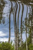 Reflection of birch trees in water. Upside down birch trees in summer Stock Photos