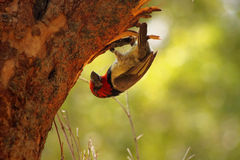 Upside Down Black Collared Barbet. Working on Nest Royalty Free Stock Photos