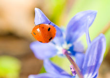 Upside-down. Closeup of ladybird on snowdrop Stock Photography
