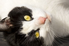 Upside Down Cute Cat Face Royalty Free Stock Image