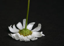 Upside down daisy Stock Images
