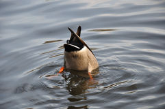 Free Upside Down Duck Royalty Free Stock Images - 14916469
