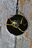 Upside Down Emerging Wasp Royalty Free Stock Photos