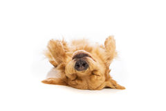 Upside down golden retriever Stock Photo