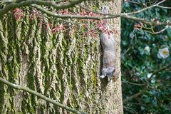 The Upside down Grey Squirrel stock image