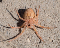 Upside down hairy spider. Macro photography of a spider sitting upside down on concrete. The spider is feigning death allowing for some interesting details from royalty free stock images