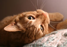 Upside Down Kitty. Orange tabby cat, closeup of face, upside down stock images