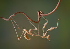 Upside down mantis Stock Photos