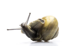 Upside down Snail Stock Photo