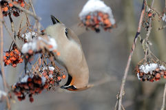 Upside down Waxwing eats ashberries at rowan-tree Royalty Free Stock Photos