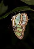 upsidedown эквадора бабочки Стоковые Фотографии RF