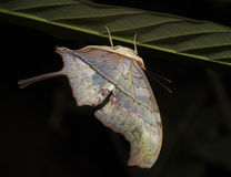 Upsidedown Butterfly - Peru Stock Photography