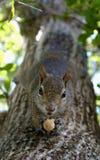 Upsidedown squirrel Royalty Free Stock Image