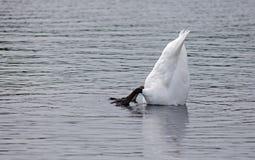 Upsidedown swan Royalty Free Stock Image