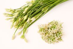 λουλούδι φρέσκων κρεμμ&upsil Στοκ εικόνες με δικαίωμα ελεύθερης χρήσης