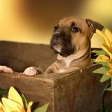 Upstanding puppy. How sweet is this puppy stock image