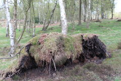 An uprooted tree in a beech woodland. A picture of an tree suffering from the effect of severe winds following a drought.  Its roots have been uplifted from the Royalty Free Stock Photo