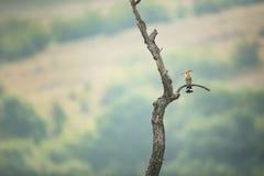 Upupa epops Die wilde Beschaffenheit von Bulgarien Freie Natur r Rhodopes Ein kleiner Vogel Berge in Bulgar stockfotografie