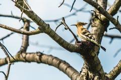 Upupa euroasiatica, un uccello marrone sabbioso con il becco lungo fotografia stock libera da diritti