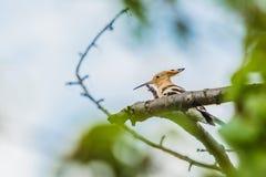 Upupa euroasiatica, un uccello marrone sabbioso con il becco lungo immagine stock libera da diritti