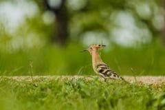 Upupa euroasiatica, un uccello marrone sabbioso con il becco lungo immagine stock