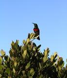 Upupa fatturata il nero blu e verde sudafricano Immagine Stock Libera da Diritti