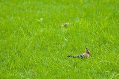 Upupafåglar Fotografering för Bildbyråer