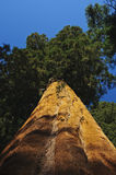 Upward angle of Redwood tree Royalty Free Stock Image
