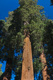 Upward angle of Redwood tree Royalty Free Stock Photography