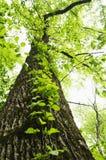 Upward angle of tree Royalty Free Stock Images