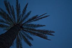 Upward Angle View of Tall Palm Tree under Dim Blue Sky. Fresh Leaf Fronds and Rough Bark of Tropical Plant. Branche. S Extending Horizontally like Umbrella stock image