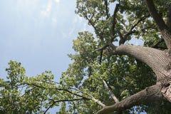 Upward Angle View of Tree. Closeup view of tree reaching skyward from an upward angle Stock Image