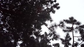 Upward Camera View of Snow Falling Under an Evergreen Tree. Snowing High Angle View of Overcast Sky Snow. Fall stock footage