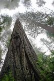 Sequoia Trees. Upward looking view of sequoia trees on a foggy morning stock photos