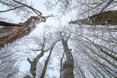 Upward perspective in forest. At cloudy winter day Royalty Free Stock Images