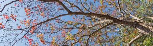 Changing color during fall season in Houston, Texas, USA. Upward perspective vibrant leaves changing color during fall season in Houston, Texas, US. Tree top Stock Images