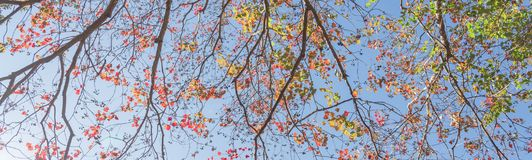 Changing color during fall season in Houston, Texas, USA. Upward perspective vibrant leaves changing color during fall season in Houston, Texas, US. Tree top Royalty Free Stock Photos