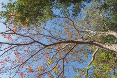 Changing color during fall season in Houston, Texas, USA. Upward perspective vibrant leaves changing color during fall season in Houston, Texas, USA. Tree tops Stock Photo