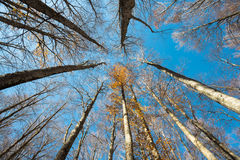 Upward perspective view of tall beech trees and yellow leaves Stock Images