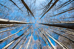 Upward perspective view of tall trees on a blue sky background Royalty Free Stock Photo