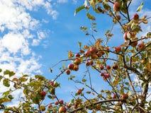 Upward view of autumn apple tree against blue sky Stock Photo