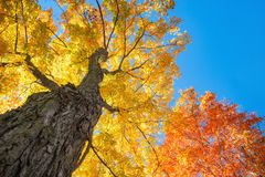 Upward view of autumn maple trees. Upward view of a large maple trees with bright orange and golden yellow autumn foliage leaves against blue sky stock images