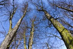Upward view of barren spring tress wide angle fisheye lens. Early spring nature abstract. Blue sky  sunny day stock image