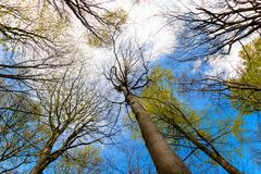 Upward View of Trees in a Forest and Blue Sky. Upward view branches of trees in a forest under blue sky and clouds Stock Images