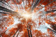 Upward view of colorful autumn trees in the forest Royalty Free Stock Photography