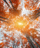 Upward view of colorful autumn trees in the forest Stock Images