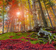 Upward view of colorful autumn trees in forest Stock Images