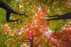 Upward view of colorful autumn trees in forest Royalty Free Stock Images