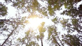 Upward view of Fall Trees. Forest in autumn. HD. 1920x1080 stock video footage